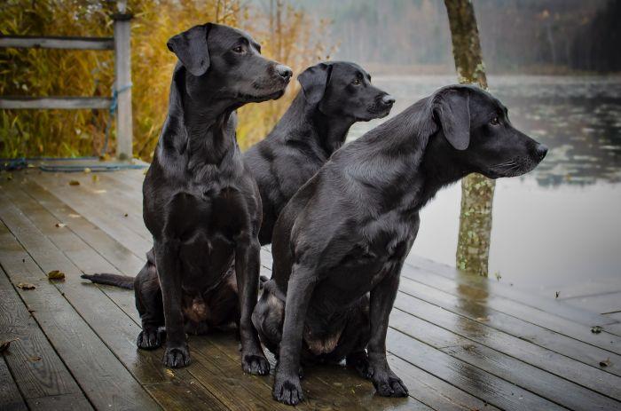 Młode labradory o czarnym umaszczeniu.