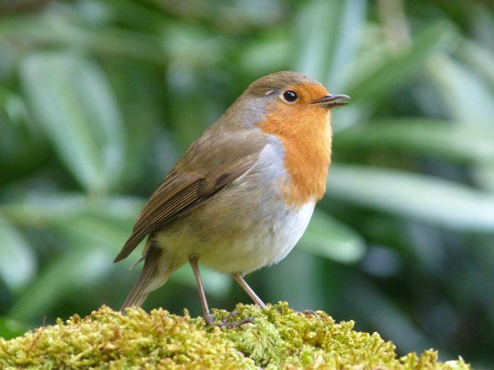 Dzwoniec - ptak śpiewający.