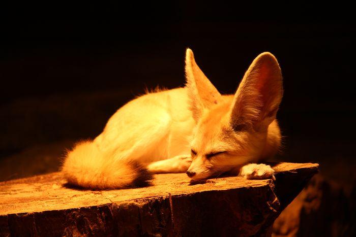 Fenek śpi na drewnie