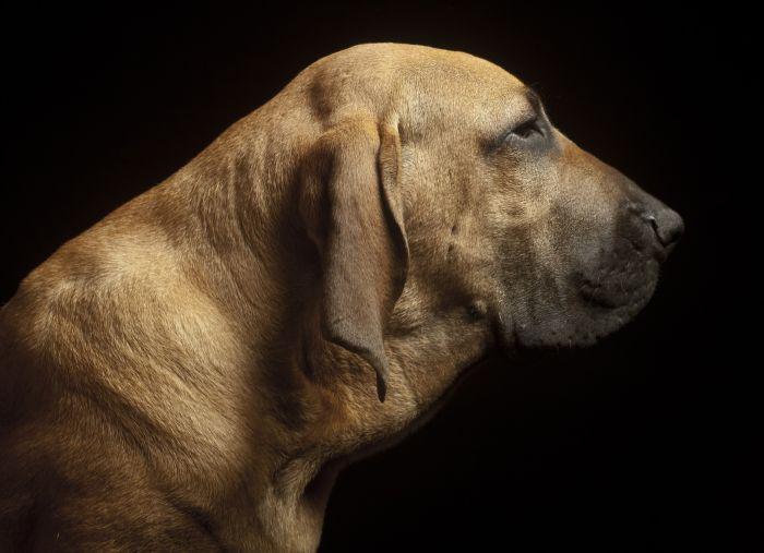 Profil psa fila brazylijska, widoczne duże podgardle i nadmiar luźnej skóry.