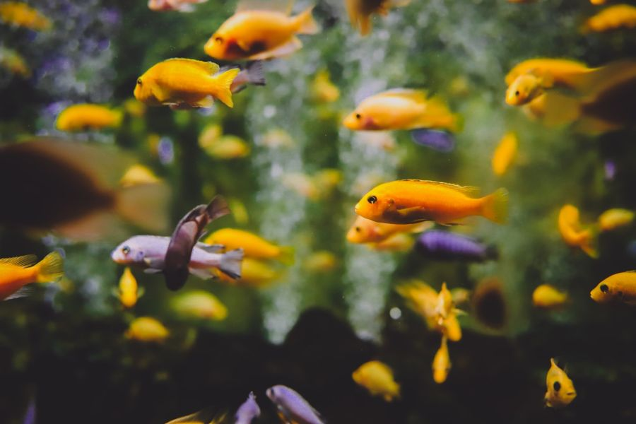 Zielona woda w akwarium znacząco pogarsza komfort życia ryb.