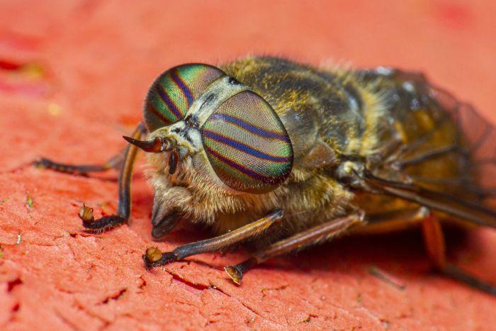 Mucha końska, widoczne paski na oczach i brązowy kolor ciała.
