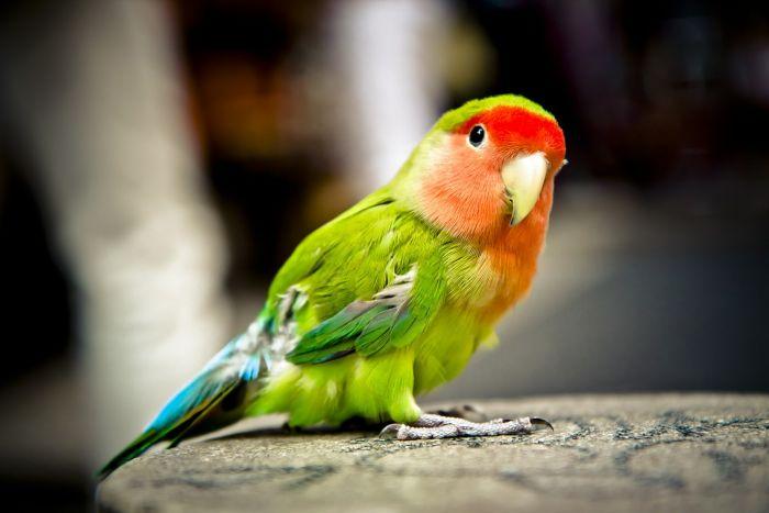 Imię dla papugi można wybrać ze względu na jej wygląd.