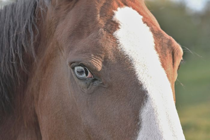 Koń z błękitnym okiem.