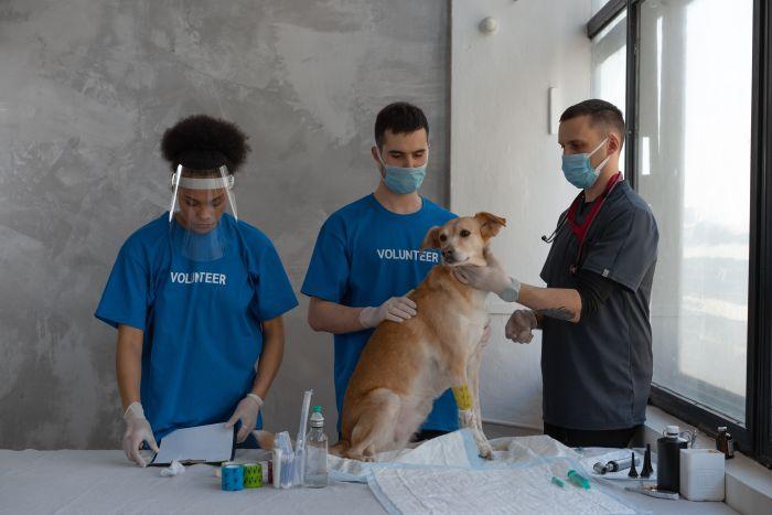 Weterynarze pobierają krew od psa.
