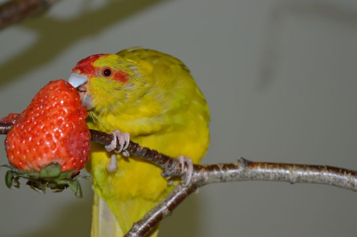 Papużka je truskawkę.
