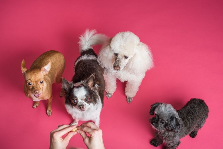Cztery pieski - pudelek, chihuahua długowłosa i krótkowłosa oraz bichon proszą o smakołyk z ręki opiekuna.