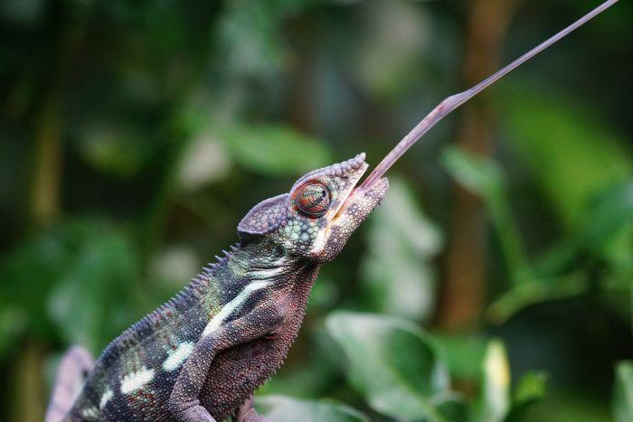 Kameleon złapał językiem owada.