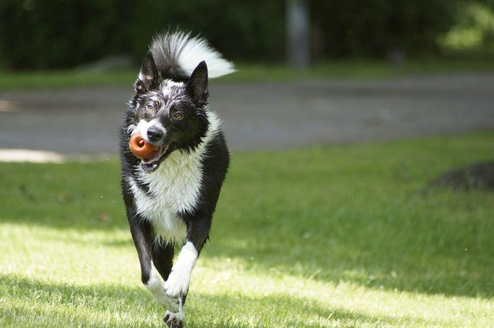 Karelski pies na niedźwiedzie aportuje piłkę