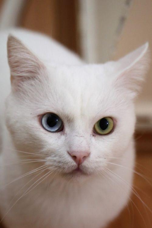 Biały kot khao manee w domu