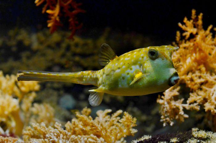 Kolcobrzuch w akwarium z gęstą roślinnością.