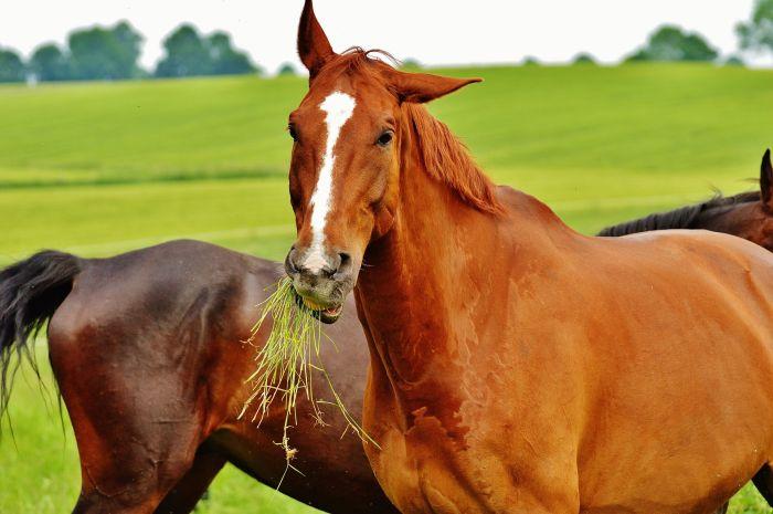 Konie kasztanowate jedzące trawę