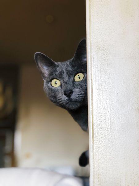 Korat o oczach jasnozielonych, wpadających w żółty. Wskazuje to na młody wiek kota, zielony kolor oczu może się kształtować do 2 roku życia.