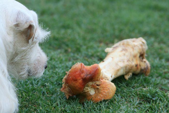Pies patrzy się na surową kość z mięsem.