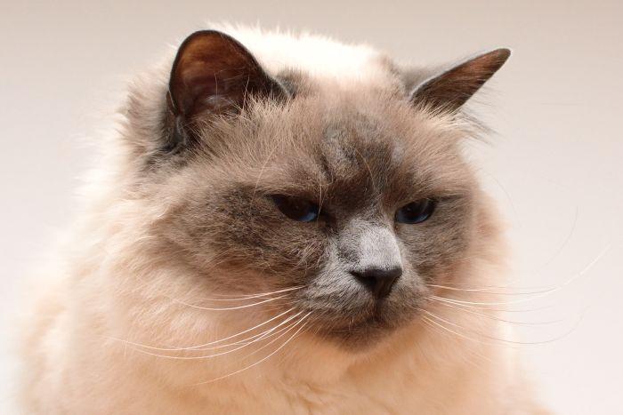 Kot balijski to odmiana długowłosa kota syjamskiego.