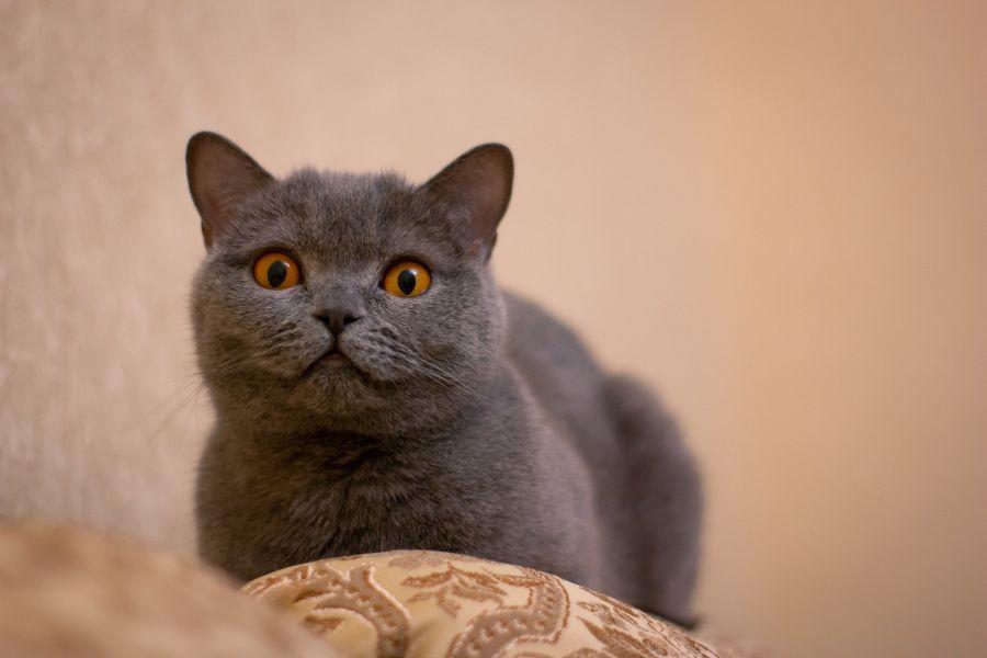 Kot brytyjski krótkowłosy niebieski.