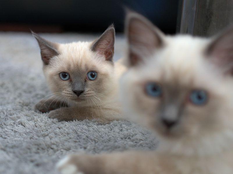 Kociaki syjamskie z intensywnie niebieskimi oczami.