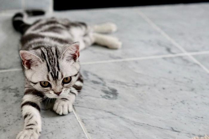 Kociak kota brytyjskiego leży na brzuchu.