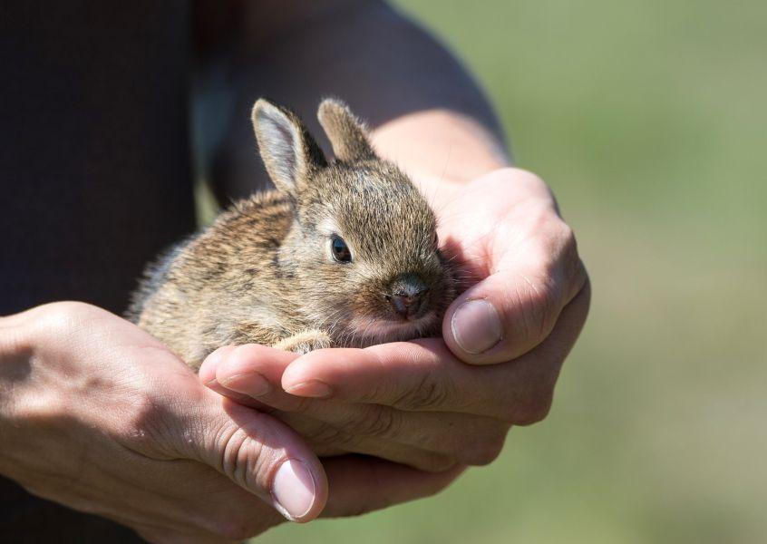 Biegunka u królika miniaturki może być spowodowana stresem, niewłaściwym żywieniem lub brakiem higieny.