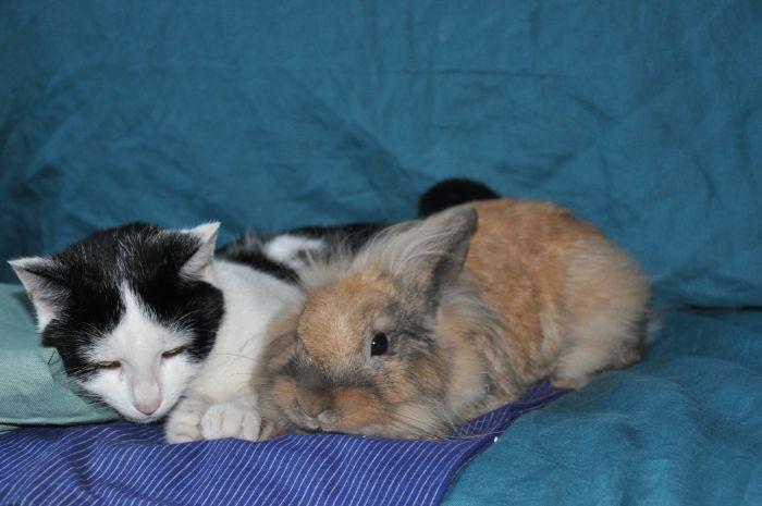 Kot przytula się do królika miniaturki.