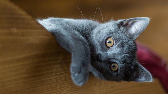 Kot niebieski wygląda zza legowiska
