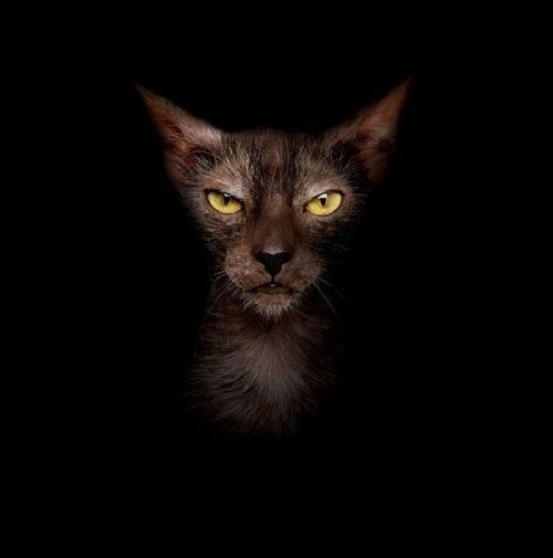 Głowa Lykoi na ciemnym tle.