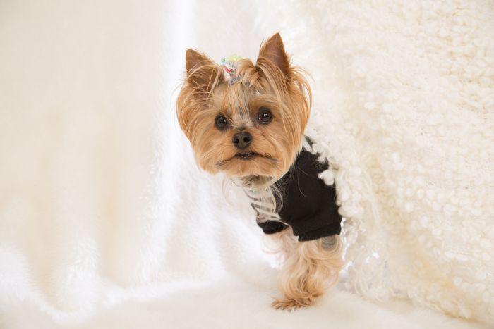 Yorkshire terrier w ubranku dla psów rasy małej i w kokardce.