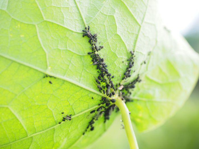 Czarne mszyce na spodzie liścia.
