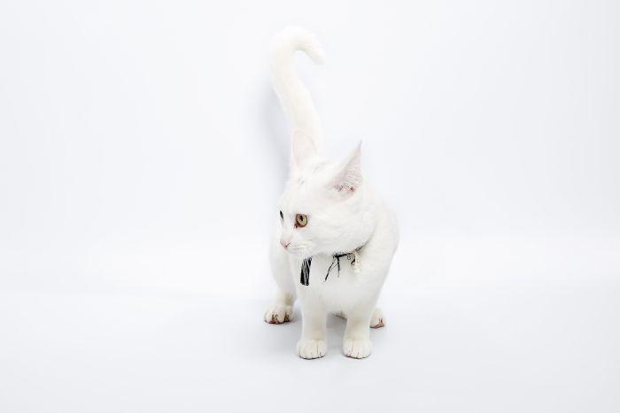 Kot munchkin o białym umaszczeniu.