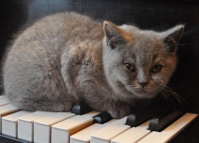 Kot brytyjski siedzi na klawiszach pianina.