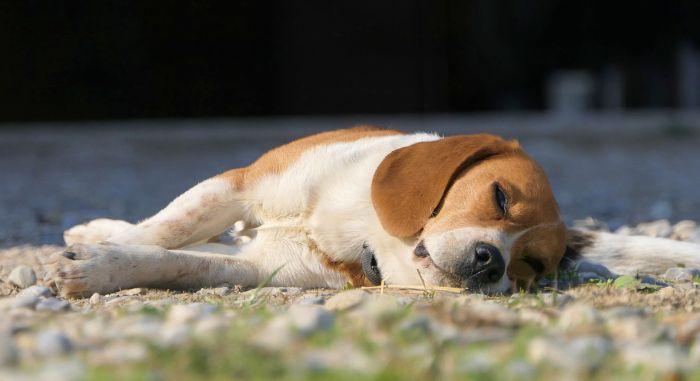 Beagle śpi na trawniku