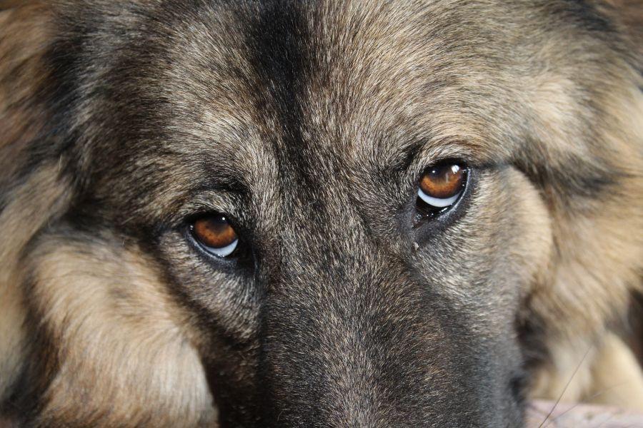 Zdrowe oczy psa, białko oka jest białe, a rogówka szklista.