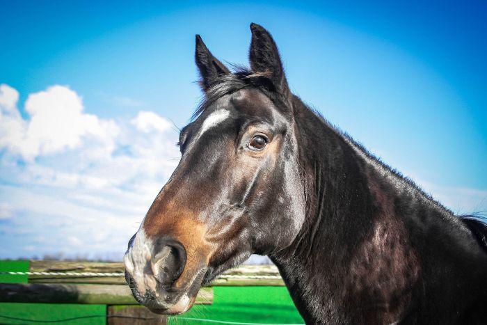 Koń maści gniadej z brązowymi oczami.