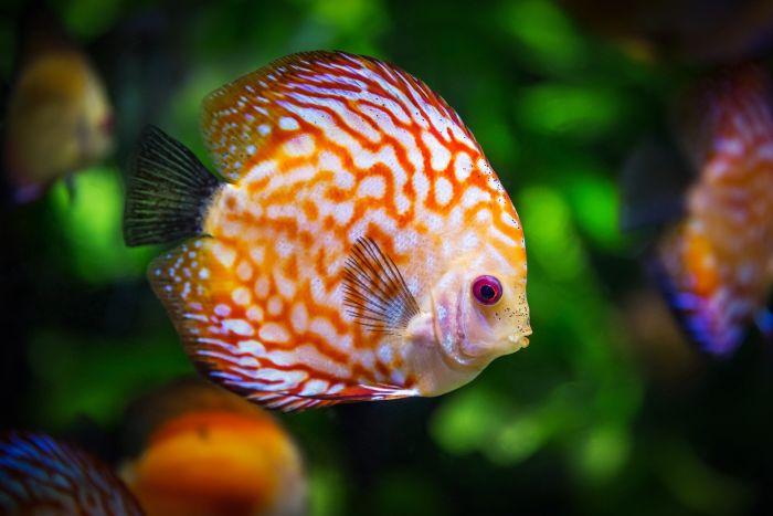Paletka ryba o spłaszczonym ciele i intensywnym ubarwieniu