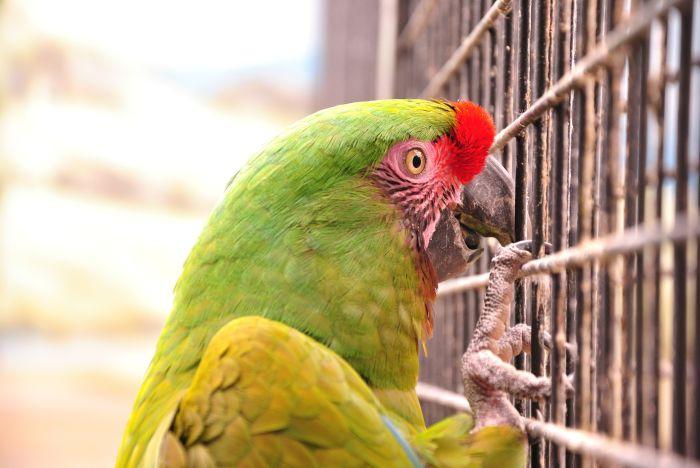 Papuga ara siedzi na klatce