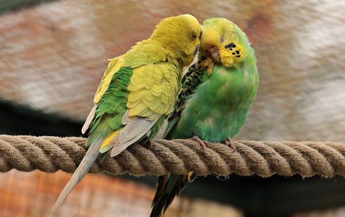 Dwie papużki przytulone w wolierze.