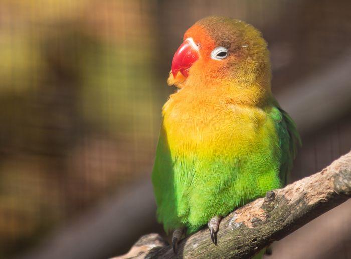 Papużka nierozłączka na gałęzi