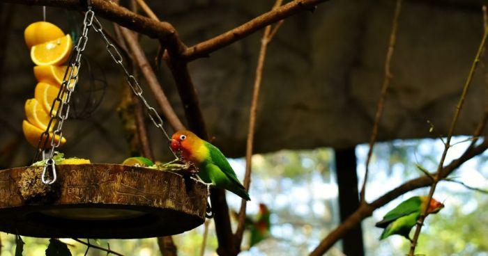 Papużki nierozłączki jedzą z wiszącej miski