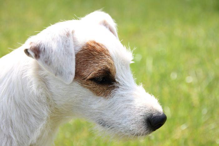 Parson Russell Terrier ma wydłużony pysk i szorstką sierść.