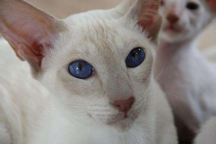 Kot peterbald o niebieskich oczach