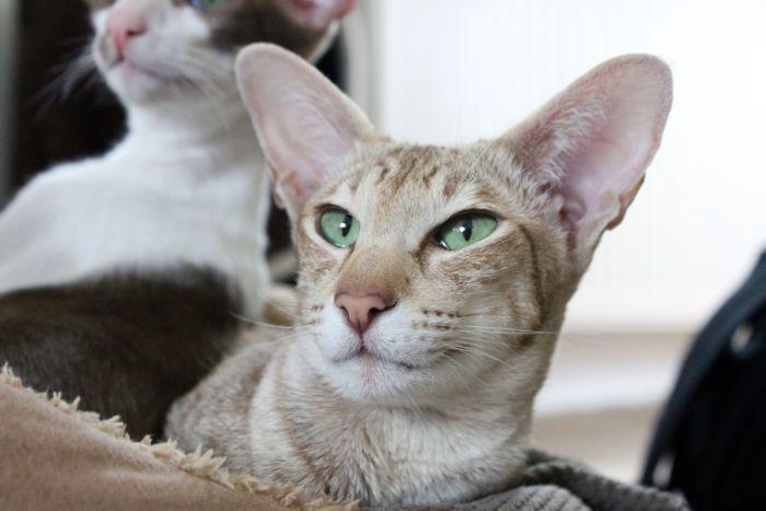 Koty peterbald