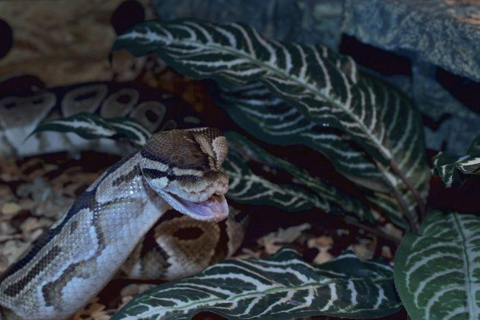 Pyton królewski pokazuje zęby.