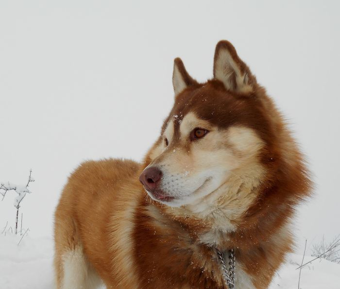 Husky syberyjski o umaszczeniu rudo - brązowym.