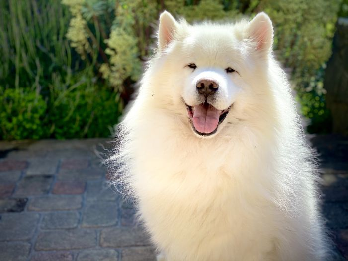 Pies Samojed na łonie natury.