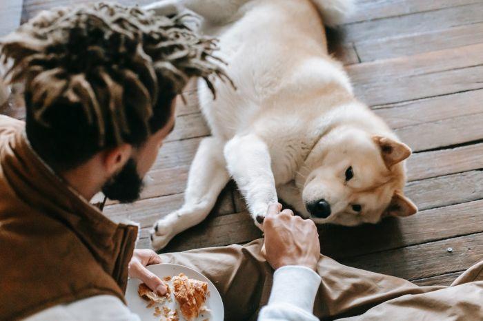 Pies akita prosi o jedzenie z talerza.