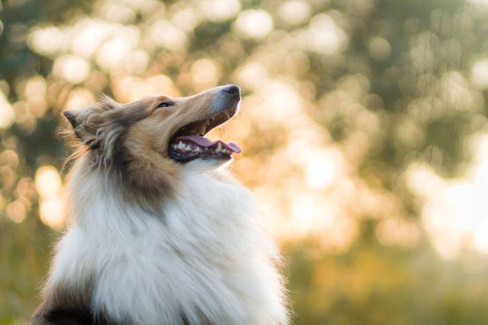 Owczarek szkocki Lessie, najbardziej sławny pies lat XX!
