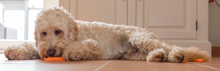 Pies leży i je marchewkę