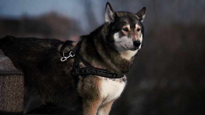 Pies łajka w lesie