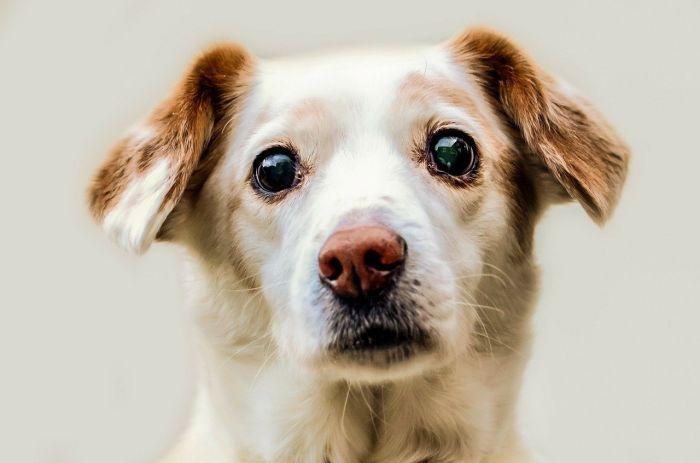 Pies z widocznymi zmianami na gałce ocznej.