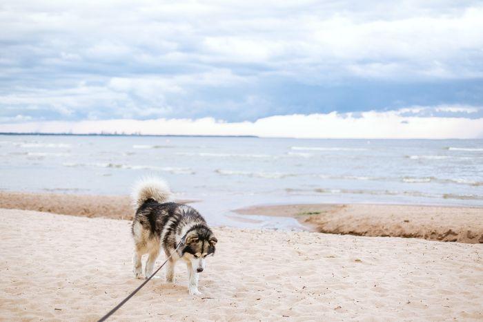 Husky na plaży nad morzem.